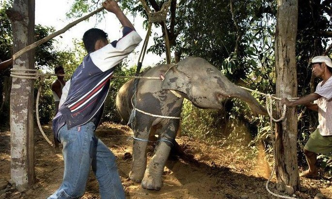 Petition · Stop the practice of 'Crushing' – torture of elephants in Thailand. ...