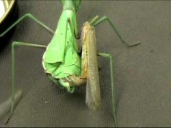 Praying mantis female decapitates male before mating – YouTube