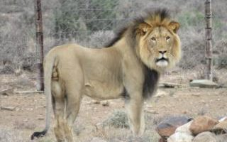 Lion 'on the loose in Cornwall' sparks police hunt