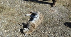 Another lynx shot dead in Turkey's Erzincan – LOCAL