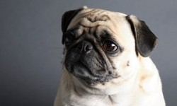 Vets ask prospective dog owners to avoid pugs and other flat-faced breeds | Life and style | The ...