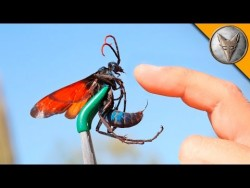 STUNG by a TARANTULA HAWK! – YouTube