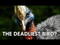 This Cassowary Can Kill You – YouTube