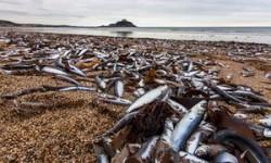 Hundreds of thousands of fish wash up on Cornish beach | UK news | The Guardian
