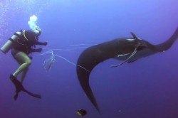 Giant Manta Ray Approaches Divers To Ask For Help With Untangling Herself [Video]