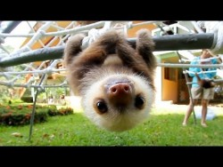 What Does A Sloth Say? – YouTube
