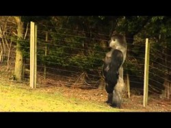 Gorilla learns to swagger like a man – YouTube