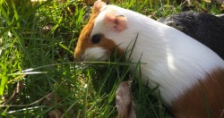 In Switzerland, it's illegal to own just one guinea pig because they're prone to lon ...