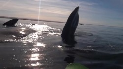 Kayakers Picked Up By Whale | IFLScience