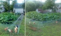 DIY Chicken Tunnel | Home Design, Garden & Architecture Blog Magazine