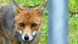 I was lucky to catch a shot of Vernon the fox, apparently a regular visitor to Porthcurno villag ...