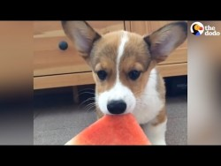 Corgi Puppy Munches On Watermelon – YouTube