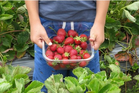 Strawberry season has arrived so here are the best places to pick your own  | Cornwall Live