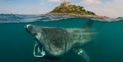Basking shark at St. Michaels Mount