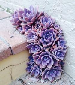 Purple succulents