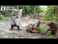 Hilarious orangutan does everything to get his friends attention – YouTube