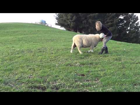 rugby playing sheep – YouTube