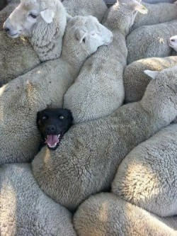 When you lied on your CV about having previous sheepdog experience.