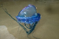 Portuguese man o' war invasion in Cornwall as number of specimens breaks all records &#821 ...