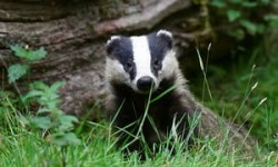 As badger culls begin, could one pioneering vet's bovine TB test end the slaughter? | UK news |  ...