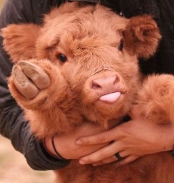 If You Ever Feel Sad, These 10+ Highland Cattle Calves Will Make You Smile | Bored Panda