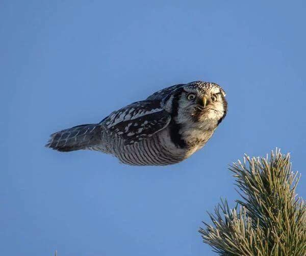 Owl in mid flight