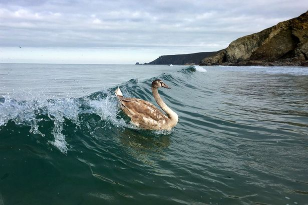 Even Cornish swans love surfing