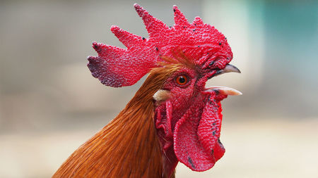How roosters protect themselves from their own deafening crows | Science | AAAS