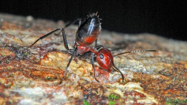 New Species of 'Exploding Ant' Discovered in Borneo | Gizmodo UK