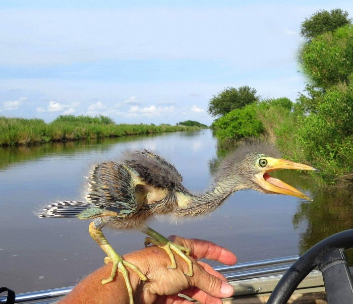 """For anyone who wonders what happened to the dinosaurs, here's a baby blue heron…"""