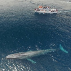 Magnificent blue whale spotted off the cost of Newport, CA