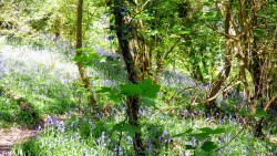 Bluebell woods May 2018