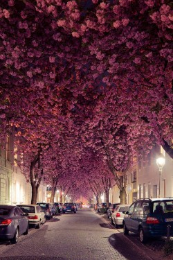 Cherry Blossom Trees in Germany