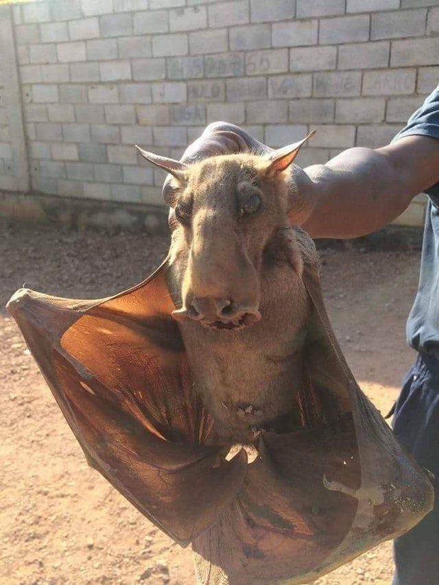 A hammer head bat, the creepiest animal on the planet?