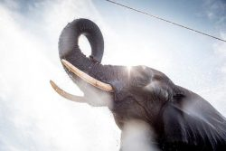 The 'zombie gene' that may protect elephants from cancer – With such enormous bodies, elep ...