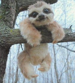 So George Lucas mustve got his inspiration for Ewoks from Baby Sloths