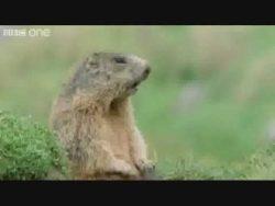 "The ""Alan Alan Alan"" Marmot on the BBC!"