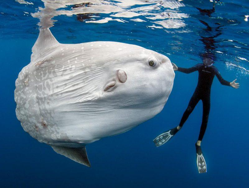 Ocean Sunfish – world's heaviest bony fish