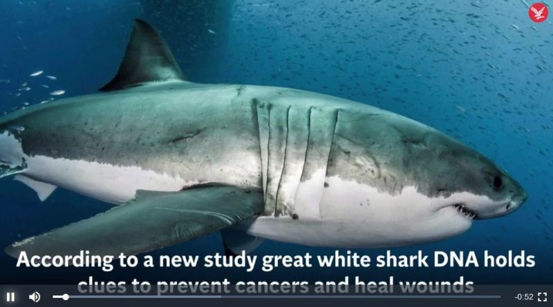 Great white shark DNA holds clues to prevent cancers and heal wounds