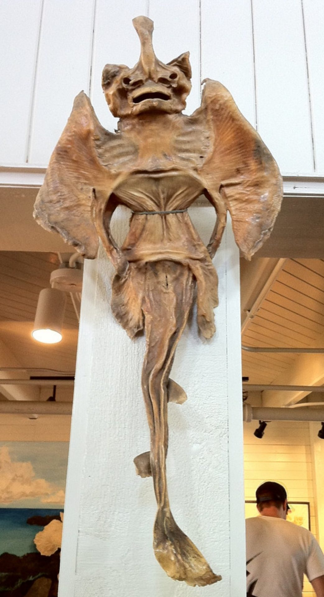 A dried stingray
