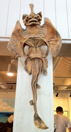 A dried stingray