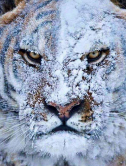 Never throw a snowball at a tiger