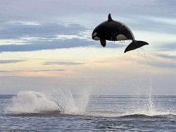 This orca was photographed while chasing a dolphin. It's estimated that orcas can jump bet ...