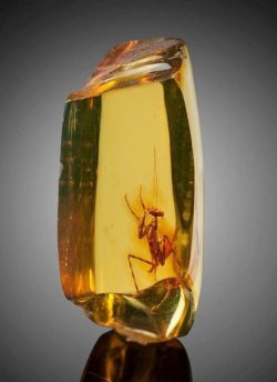 A praying mantis trapped in amber, approximately 12 million years old