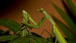 Why Female Praying Mantises Devour Their Partners During Sex