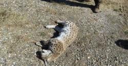 Another lynx shot dead in Turkey's Erzincan – LOCAL