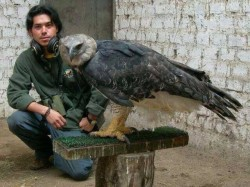This is the Harpy Eagle, the largest eagle in the world.