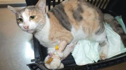 Another cat dies from injuries after being raped! This time in Mugla