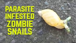 This Parasite Infested Snail Looks Like Something From A Horror Movie | IFLScience