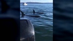 Check Out The Ingenious Way This Seal Manages To Avoid Hungry Orcas | IFLScience